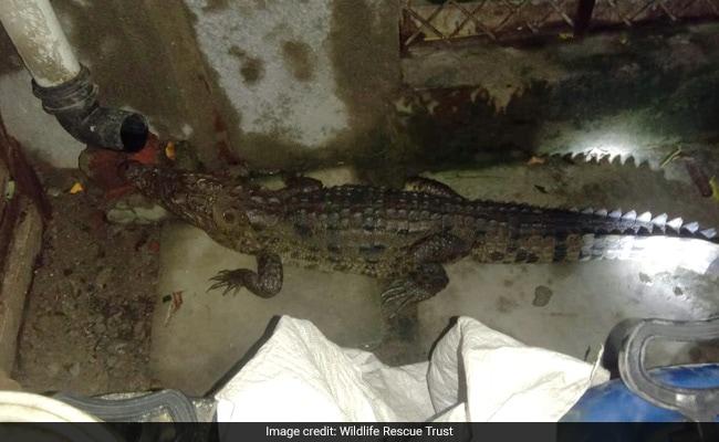 Watch: Woken Up By Noise, Gujarat Man Finds Crocodile In Bathroom