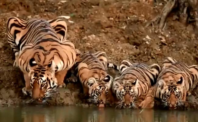 A Family Of Tigers Filmed At A Watering Hole In Delightful Old Video