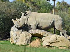 World's Oldest Captive White Rhino Dies At 55 In French Zoo