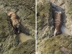 Tiger Trapped In Rocks After Jumping 35 Feet Into Maharashtra River Dies