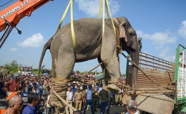 Assam Elephant 'Bin Laden' Dies After Six Days In Captivity