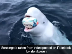 Man Plays Fetch With Beluga Whale. 4 Million Views For Incredible Video
