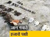 Video : जयपुर: सांभर झील में लगातार मर रहे हैं पक्षी, मरने वाले पक्षियों में ज़्यादातर प्रवासी पक्षी