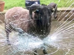Video: Angry Ram Smashes Doors While Fighting Its Own Reflection