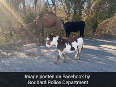 A Camel, Cow And Donkey Found Wandering Together. Internet Has Questions