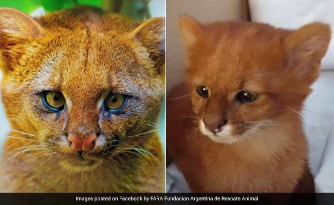बिल्ली समझ कर जिसे पाल रही थी महिला वो निकला जंगली जानवर, देखें PICS