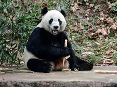 US-Born Panda Bei Bei Arrives In China After A 16-Hour Flight