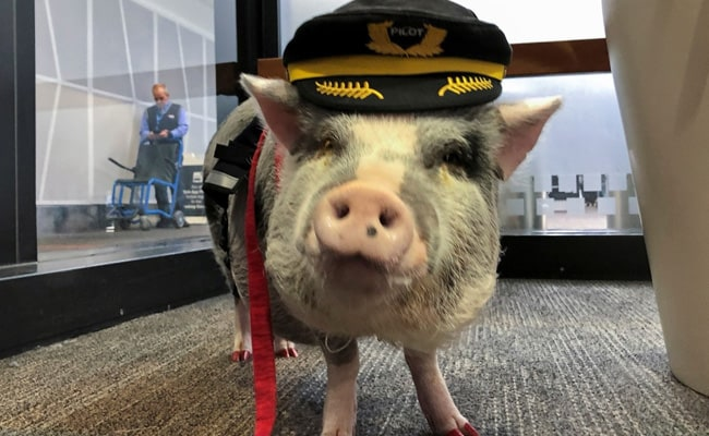 World's First Airport Therapy Pig Hogs The Limelight At San Francisco