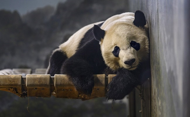 Panda Bie Bie Takes 16-Hour Flight From US To New China Home