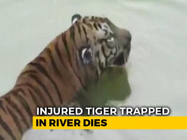 Video : Tiger Trapped In Rocks After Jumping 35 Feet Into Maharashtra River Dies