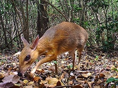 Rare Deer-Like Animal Rediscovered In Vietnam After 30 Years