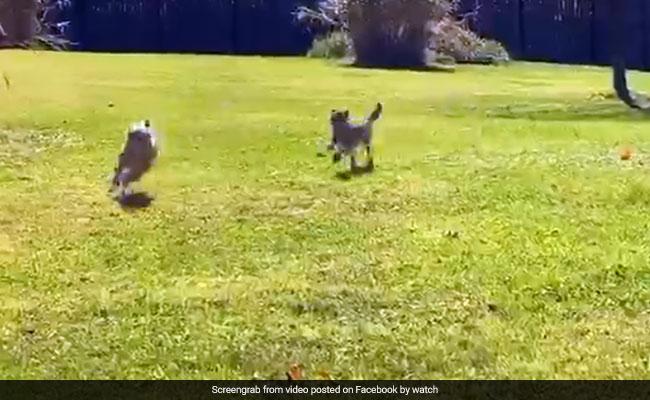कुत्ते के पीछे पड़ा चीते का बच्चा, दौड़ लगाकर आया पास और किया ऐसा... देखें Viral Video