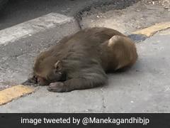 सड़क किनारे पड़ा था बीमार बंदर, मेनका गांधी ने Photo देख भिजवाई गाड़ी और...