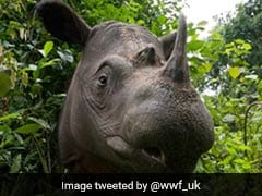Sumatran Rhino Now Extinct In Malaysia After Last One Dies Of Cancer