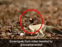 Viral: பாம்பிடமிருந்து நொடிக்கும் குறைவான நேரத்தில் தப்பி ஓடும் கீரிப்பிள்ளை