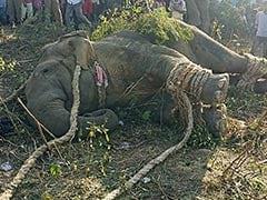 "Rogue ""Bin Laden"" Elephant That Killed 5 Caught In Assam"