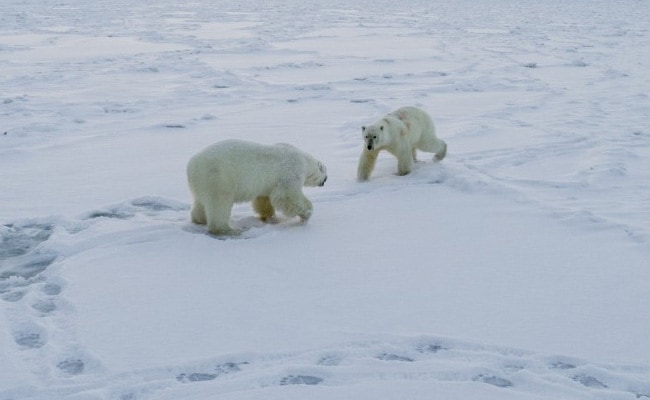 Polar bears visit Russia village