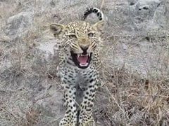 """Man-Eater"" Leopard, That Killed Over 20 People, Shot Dead In Gujarat's Amreli"
