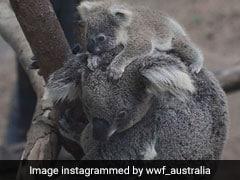 Over 2,000 Koalas Killed In Australian Bushfires
