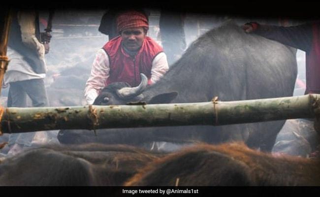 नेपाल के गढ़ीमाई मंदिर में मेला शुरू, दी जाएगी 30 हज़ार पशुओं की बलि