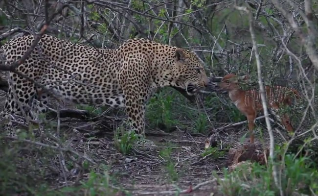 On Camera: Baby Nyala Charges At Leopard Repeatedly In Bid To Escape