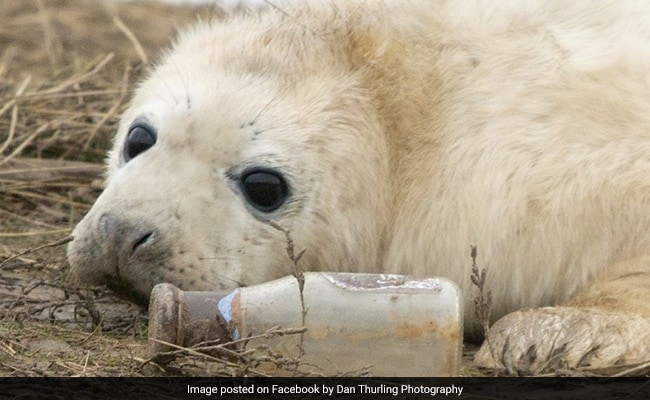 Seal Pup Seen Playing With Starbucks Bottle In Heartbreaking Photo