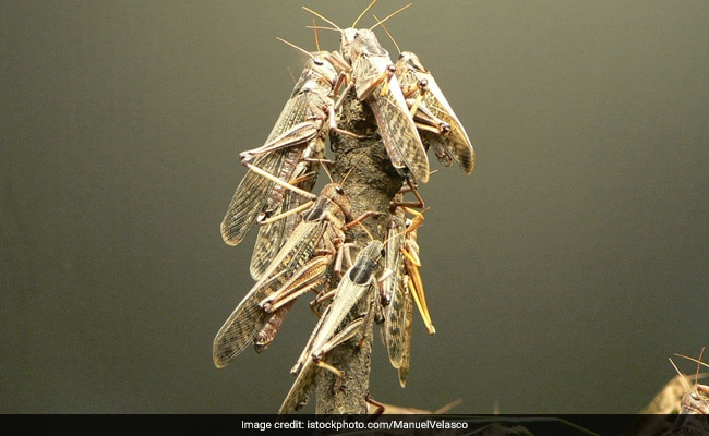 Locust attacks in North Gujarat have been broadly contained: ACS (Agriculture) Parmar