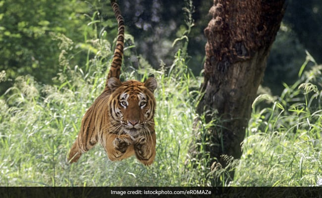 Ranthambore Tiger Chases Tourist Vehicle In Dramatic Video