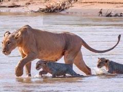 शेरनी अपने बच्चों के साथ पार कर रही थी मगरमच्छ से भरी नदी, जैसे ही डूबा बच्चा तो मां ने किया ऐसा... देखें VIDEO
