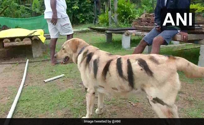 कर्नाटक के इस गांव में किसान पालतू कुत्तों को बाघ की तरह क्यों रंग रहे हैं?