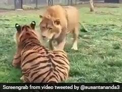 बाघ ने किया Attack तो शेर ने पलटकर मारा मुक्का, जानिए कौन जीता ये जंग... देखें Video