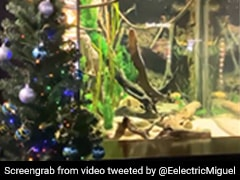 Meet Miguel Wattson, The Electric Eel That's Powering A Christmas Tree