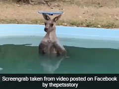 Exhausted Kangaroo Cools Down In Family's Pool As Bushfires Rage