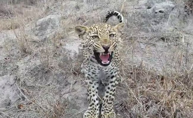 The Moment A Wildlife Photographer Found Himself Facing A Leopard