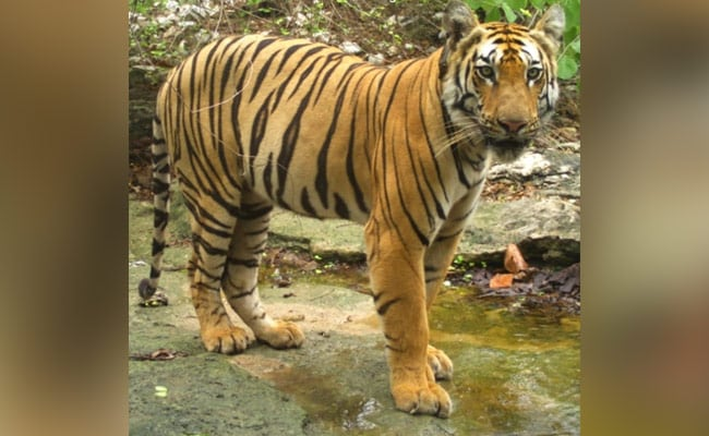 Tiger's Longest Walk Ever In India, Covering 1,300 Km Over Two States