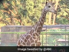 After 8 Years Of Waiting, Assam Zoo Finally Gets A Giraffe