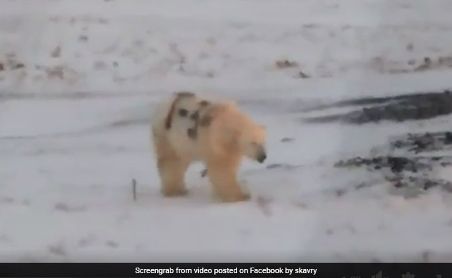 Polar Bear Seen Painted In Cryptic Graffiti In Russia, Scientists Alarmed