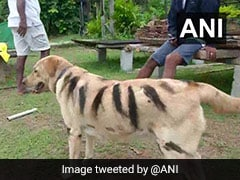 Why Farmers In Karnataka Have Started Making Their Dogs Resemble Tigers