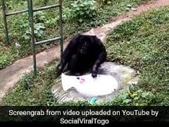 Video: Chimpanzee Washes Clothes After Watching Zookeeper Do It