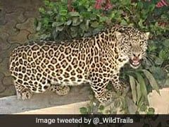 Leopard Caught From Mumbai Building, Released In National Park