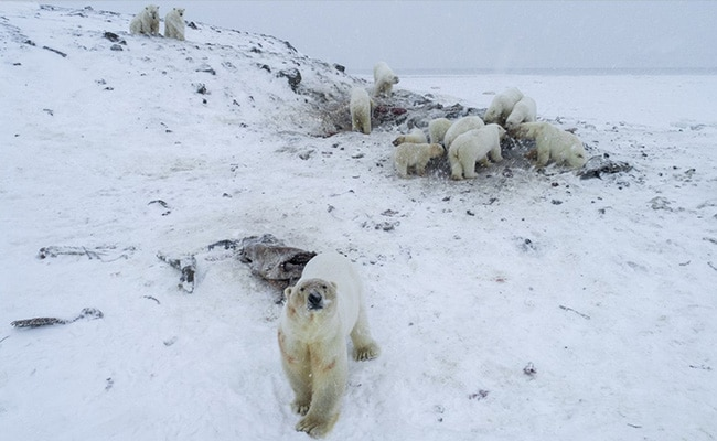WWF: Dozens of Polar Bears Descend Upon Russian Town
