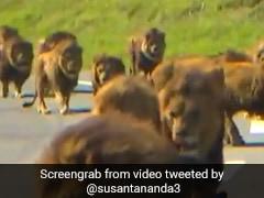 Viral Video: রাস্তায় সিংহের দঙ্গল! এগিয়ে গেল গাড়ির কাছে, তারপর...
