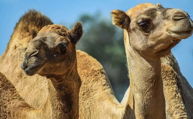 5,000 Camels Shot Dead In 5 Days In Drought-Hit Australia Amid Wildfire