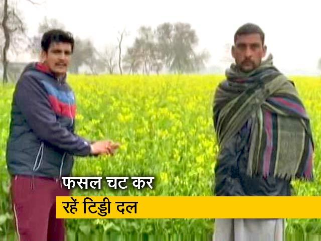 Videos : गुजरात और राजस्थान के बाद अब पंजाब के किसान हैं टिड्डियों के हमले से परेशान