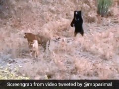 Sloth Bear Chases Away 2 Tigers At Ranthambore. Incredible Video Is Viral