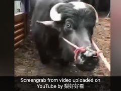 Cow 'Begs' To Be Spared From Slaughter In Heartbreaking Video