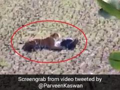 बाघ आया करीब तो मरने की एक्टिंग करने लगा शख्स, छाती पर रखे पैर और फिर... देखें पूरा Video