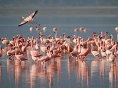 Thousands Of Migratory Australian Flamingos Arrive In Rameswaram
