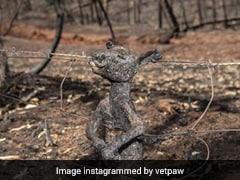 Australia Bushfire: जले हुए बेबी कंगारू की Photo वायरल, आग से बचने की कोशिश में फंस गया था तारों में