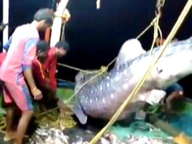 Video : Kerala Fishermen Release Endangered Whale Shark Into Sea
